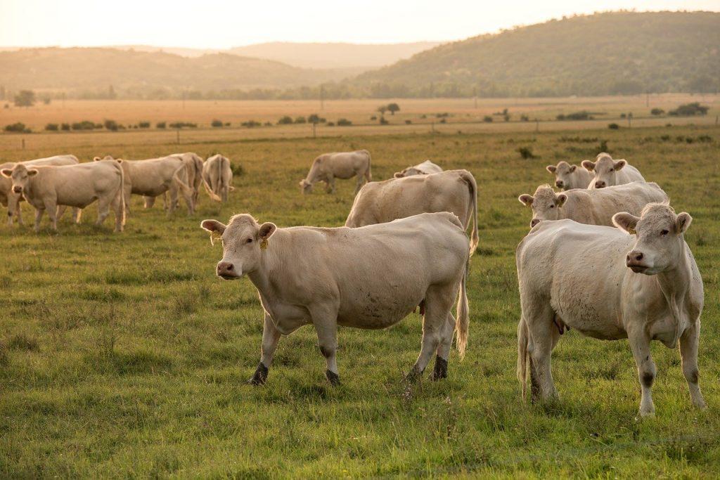 Les races de vaches à viande